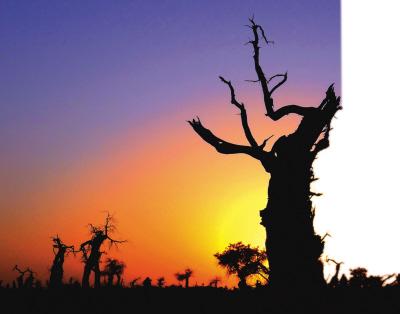 死而复生   怪树林是大片胡杨树枯死而形成的.