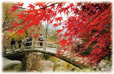 山东省青岛市崂山北九水风景区枫叶正红