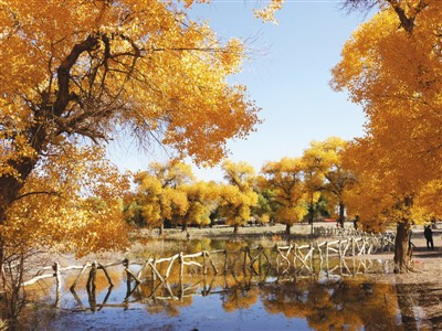 与笔直的白杨相比,额济纳秋天的胡杨树却有百转千回的温情蜜意,大漠