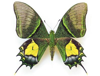 金斑喙凤蝶(雄)国家一级保护动物,华希昆虫博物馆藏