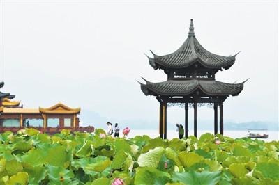 杭州西湖荷花开 花期将持续到9月初