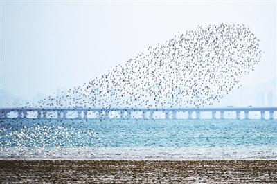 青岛环湾湿地候鸟回迁