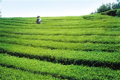 全球200多个城市共品中国茶