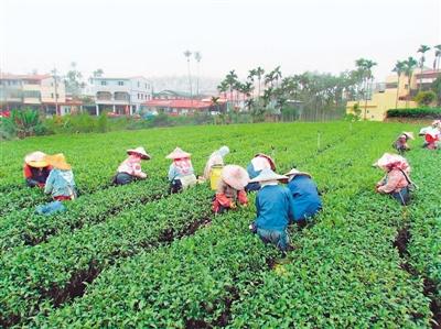 """台湾农业缺工问题成""""老大难"""""""