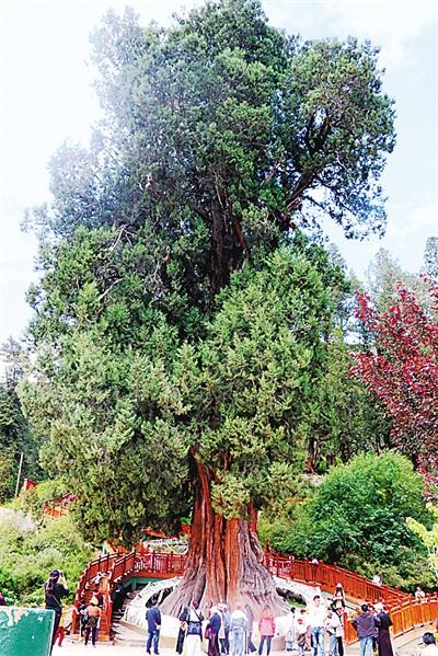 林芝发现三千多岁巨柏