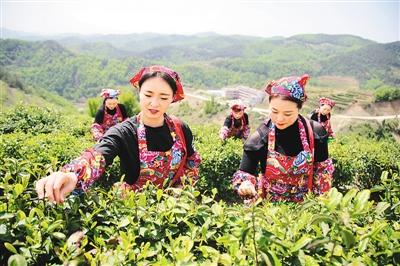 湖北郧阳:茶产业助农增收