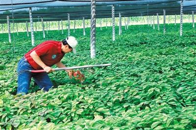 美国威斯康星州马拉松县秀文笔节日日志花旗参年产量约占全国总产量的90%以上