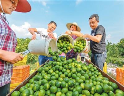 """湖南道县农民发展蜜橘种植 走向""""致富路"""""""