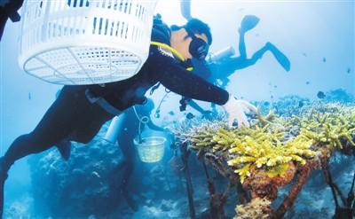 海底采珊瑚生态修复忙